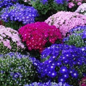 cineraire-fleuristes